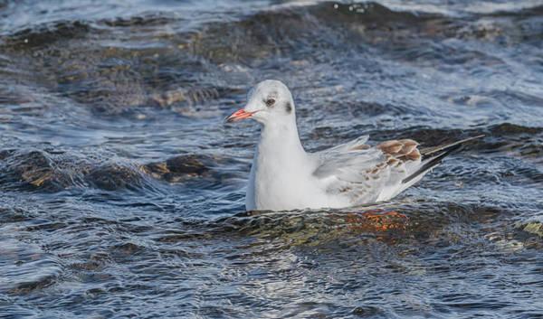 Chroicocephalus Ridibundus Photograph - Rare Black-headed Gull by Morris Finkelstein