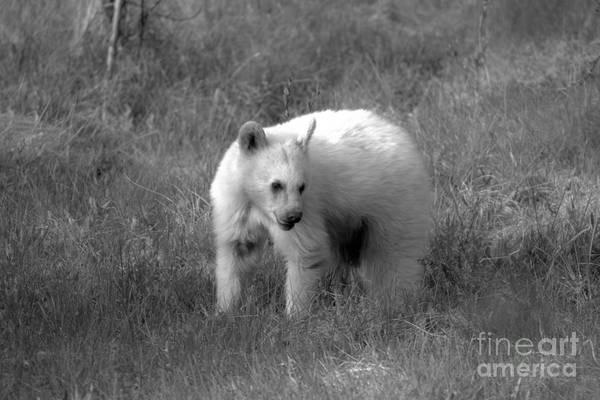 Photograph - Rare White Black Bear Black And White by Adam Jewell