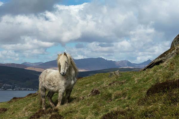 Eriskay Wall Art - Photograph - Rare Wild Eriskay Stallion, Standing Alert On Holy Isle, Scotland by Kristel  Richard / Naturepl.com
