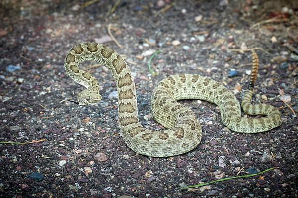Wall Art - Photograph - Rattlesnake by Paul Freidlund