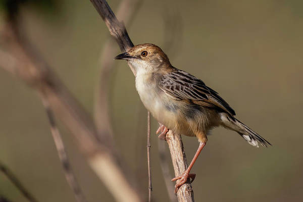 Photograph - Rattling Cisticola by Thomas Kallmeyer