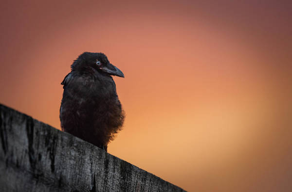 Wall Art - Photograph - Raven Fledgling by Jami Bollschweiler