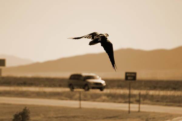 Photograph - Raven Flying In Sepia by Colleen Cornelius