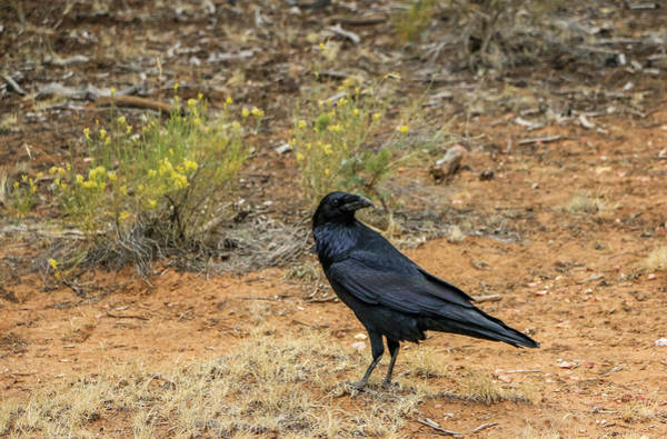 Photograph - Raven, Grand Canyon by Dawn Richards