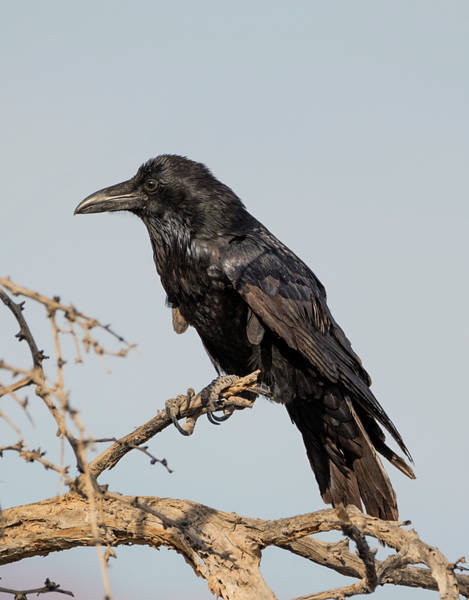 Photograph - Raven In Death Valley by Loree Johnson