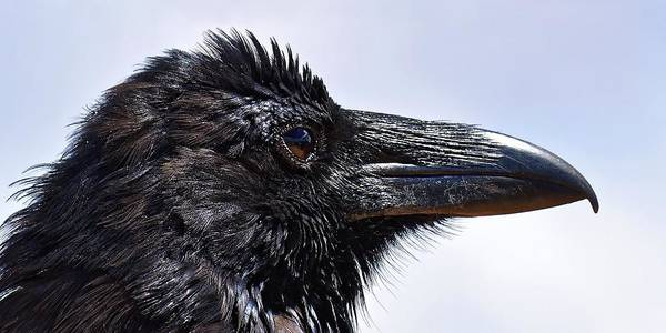 Photograph - Raven Portrait by KJ Swan