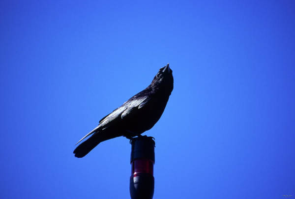 Wall Art - Photograph - Raven - Stearns Wharf by Soli Deo Gloria Wilderness And Wildlife Photography