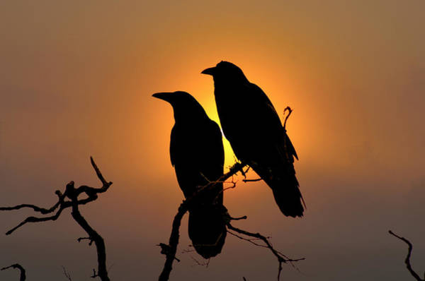 Wall Art - Photograph - Ravens by Allan Erickson