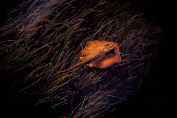 Photograph - Ray In The Grass Flats by Robert Stanhope