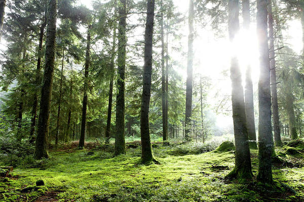 Photograph - Ray Of Light Forest Of Douglas by Picavet