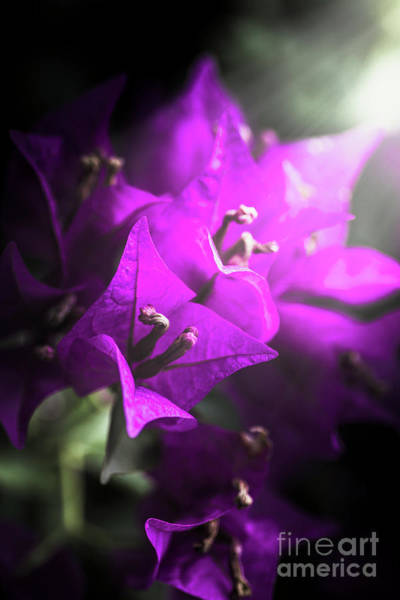 Ornate Photograph - Rays Of Bougainvillea by Jorgo Photography - Wall Art Gallery