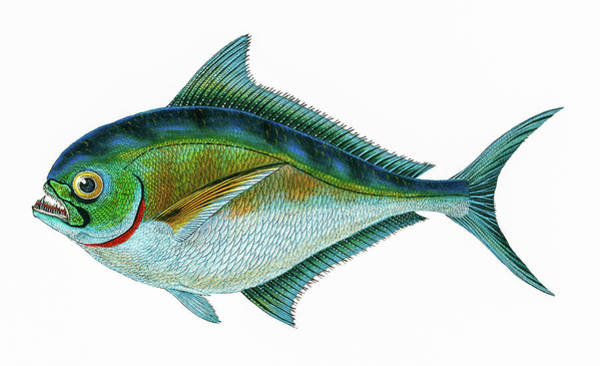 Aqua Drawing - Ray's Toothed Gilt Head  by David Letts
