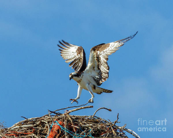 Ospreys Photograph - Reaching For Home by Mike Dawson