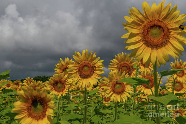 Photograph - Reaching For The Sun - Sunflowers by Dale Powell
