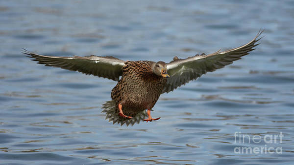 Photograph - Ready For Landing by Robert WK Clark