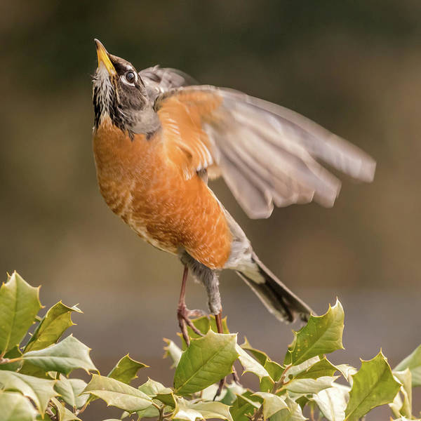 Photograph - Ready To Fly Robin Square by Terry DeLuco