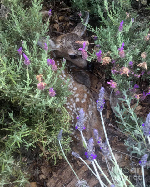 Photograph - Real Life Newborn Fawn Bambi 2019 by California Views Archives Mr Pat Hathaway Archives
