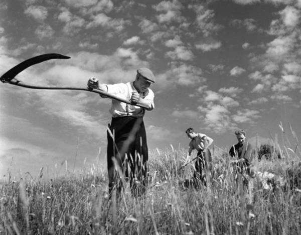 Farm Photograph - Reaping by Bert Hardy