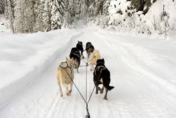 Pulling Photograph - Rear View Of Dogs Pulling A Sled by Brian Caissie
