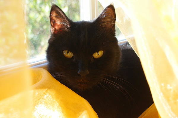 Photograph - Rebeka Black Cat by Dora Hathazi Mendes