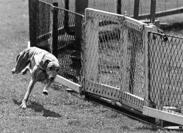 White Dog Photograph - Record Dog by Carl Sutton/charles Hewitt