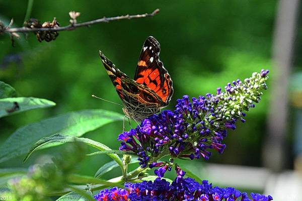Photograph - Red Admiral Butterfly 2 by Lisa Wooten