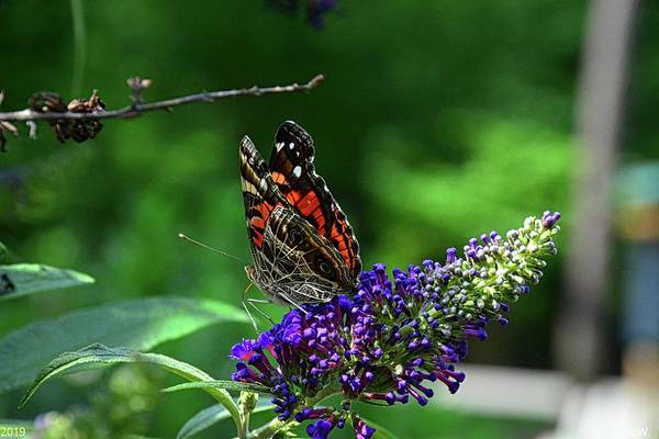 Photograph - Red Admiral Butterfly by Lisa Wooten