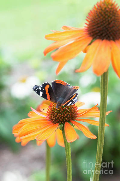 Pollinator Wall Art - Photograph - Red Admiral Butterfly On Echinacea Flower  by Tim Gainey