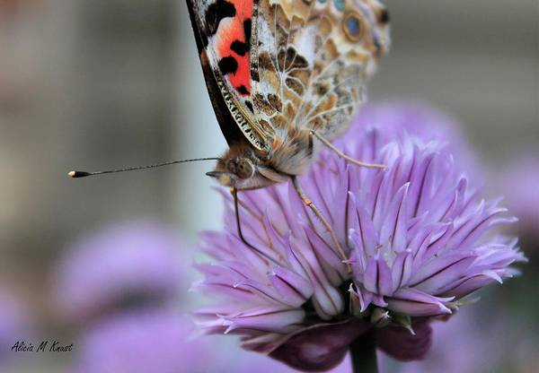 Wall Art - Photograph - Red Admiral Eating by Alicia Knust
