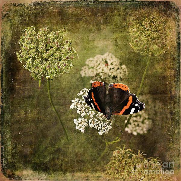 Digital Art - Red Admiral On Wild Carrot  by Liz Alderdice