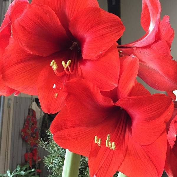 Photograph - Red Amaryllis by Sharon Duguay