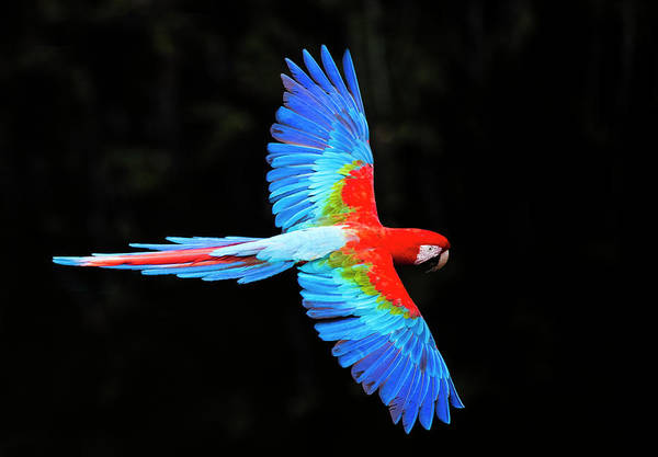 Wall Art - Photograph - Red And Green Macaw Ara Chloropterus by Panoramic Images
