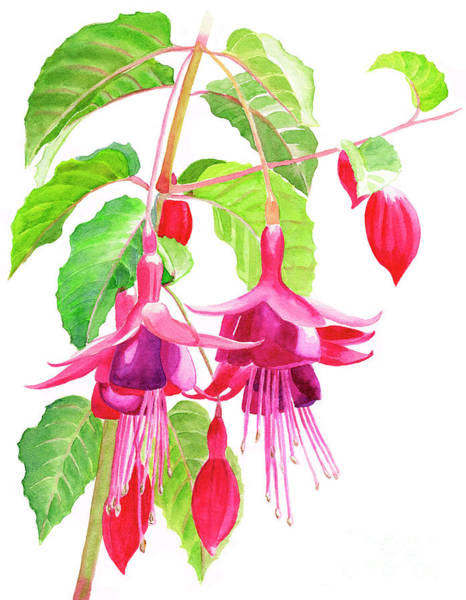 Freeman Wall Art - Painting - Red And Purple Fuchsias by Sharon Freeman