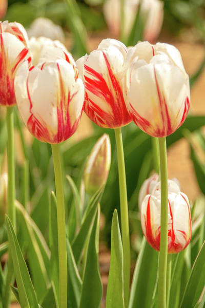 Photograph - Red And White Beauties by Kristia Adams