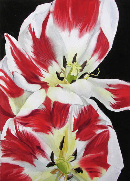 Painting - Red And White Tulips by Alfred Ng