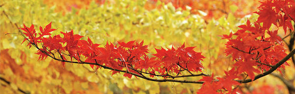 Wall Art - Photograph - Red And Yellow Autumnal Leaves by Panoramic Images