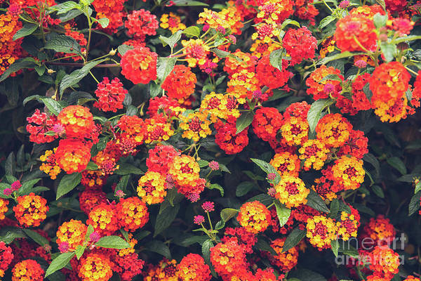Photograph - Red And Yellow Flowers On A Bush, For Background Use With Muted  by Joaquin Corbalan