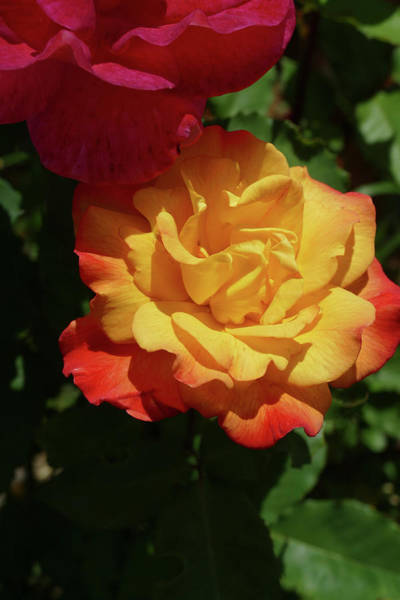 Red And Yellow Rio Samba Roses Art Print