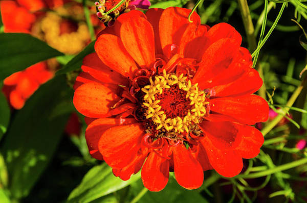Photograph - Red And Yellow Stunner by Paul Croll