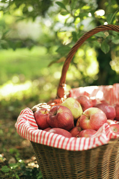 Vegetable Garden Photograph - Red Apples Basket by Les Hirondelles Photography