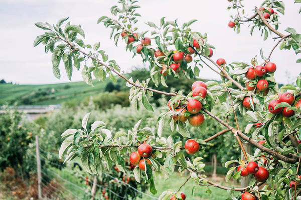 Wall Art - Photograph - Red Apples In Orchard Tree by Pati Photography