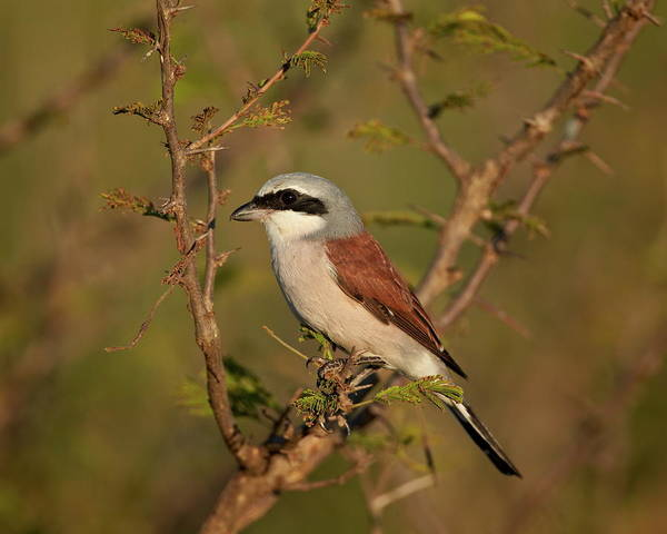 James Brown Photograph - Red-backed Shrike Lanius Collurio by James Hager / Robertharding