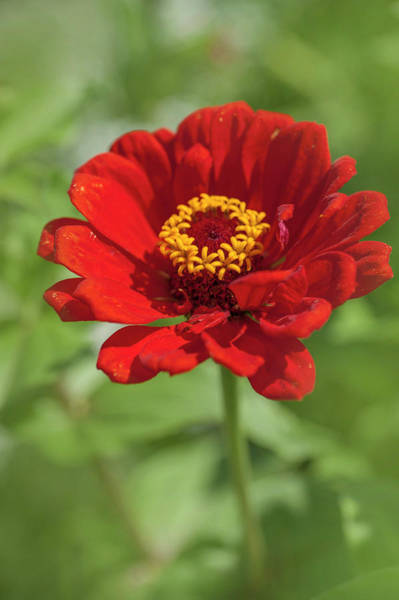 Photograph - Red Beauty Zinnia Elegans 1 by Jenny Rainbow