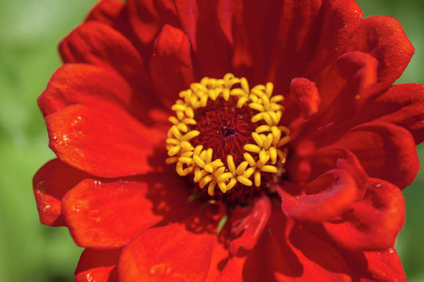 Photograph - Red Beauty Zinnia Elegans by Jenny Rainbow