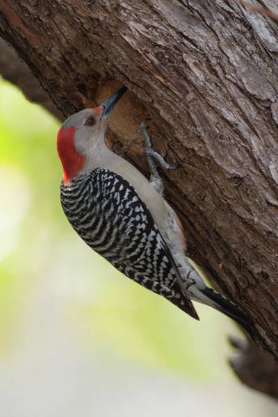 Photograph - Red-bellied Woodpecker #2 by Paul Rebmann