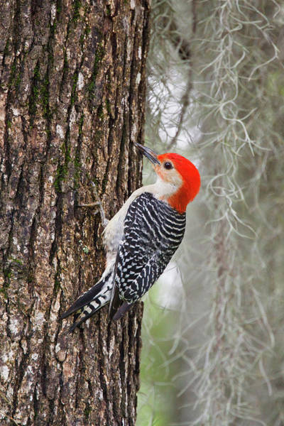 Red Bellied Woodpecker Photograph - Red-bellied Woodpecker Melanerpes by Danita Delimont