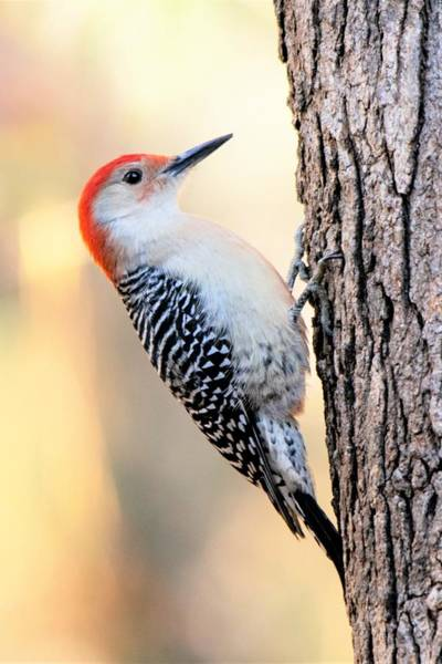 Wall Art - Photograph - Red Bellied Woodpecker - Vertical by Mary Ann Artz