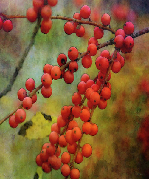 Photograph - Red Berries 5573 Idp_2 by Steven Ward