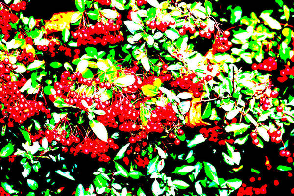 Photograph - Red Berries In A Hedge Bush by Artist Dot