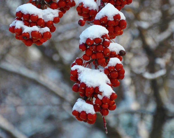 Photograph - Red Berries In The Snow by Bill Cannon